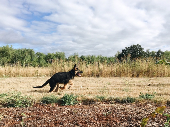 german shepherd puppies oregon